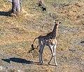 Jirafa (Giraffa camelopardalis), vista aérea del delta del Okavango, Botsuana, 2018-08-01, DD 33.jpg