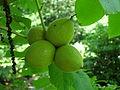 Juglans ailantifolia var. allantifolia ÖBG 09-07-16 02.jpg