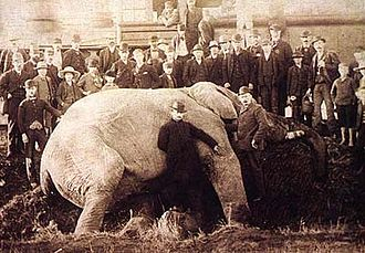 Jumbo - Jumbo after being run over by a locomotive on September 15, 1885 in St. Thomas, Ontario