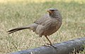 Jungle Babbler Turdoides striata by Dr. Raju Kasambe DSCN7472 (11).jpg