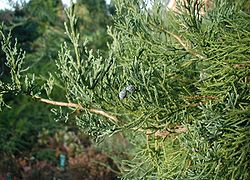 Juniperus-virginiana-close.JPG