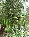 Juniperus cedrus kz2.jpg