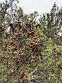 Juniperus pinchotii.jpg