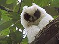 Juvenile Madagascar Long-eared Owl (Asio madagascariensis), Andasibe, Madagascar.jpg