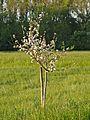Kühkopf-Knoblochsaue Weißer Matapfel Tree.jpg