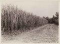 KITLV - 30216 - Kurkdjian, N.V. Photografisch Atelier - Soerabaja - Sugar company in East Java - 1921.tif