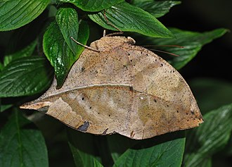 Anti-predator adaptation - Kallima inachus masquerading as a dead leaf