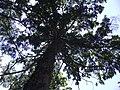 Keteleeria davidiana var. formosana 台湾油杉 (天問) 001.jpg