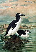 Great auks by John Gerrard Keulemans