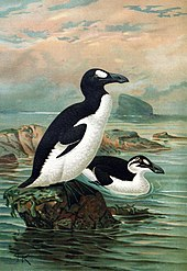 Is the Great Auk a Candidate for De-Extinction? — Blog of the Long Now