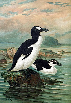 Great auk - Summer (standing) and winter (swimming) plumage, by John Gerrard Keulemans