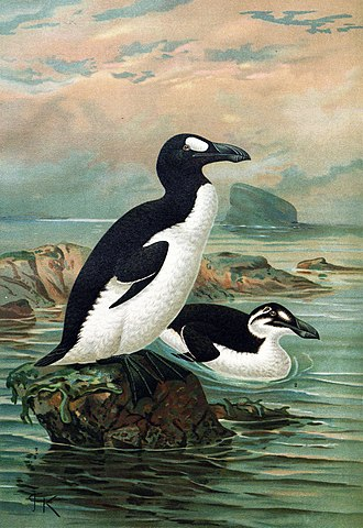 Flightless bird - Great auk