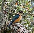 Kingfisher 2 (32058107715).jpg