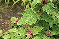 Kluse - Chenopodium giganteum - Magentaspreen 13 ies.jpg