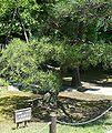 Kokkaigijido tree ehime.jpg