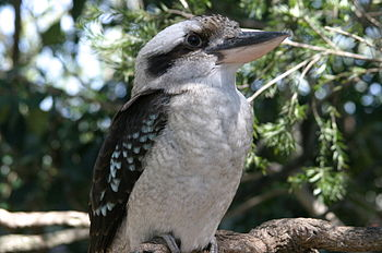 English: kookaburra laughing bird