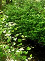 Korina 2012-05-16 Fallopia japonica.jpg