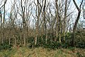 Korina 2013-03-18 Mahonia aquifolium 15.jpg
