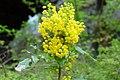 Korina 2017-04-08 Mahonia aquifolium 3.jpg