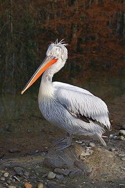 Пелікан кучерявий має статус