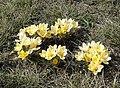 Krokusy koloru żółtego.jpg