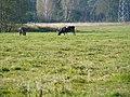 Krowy na łące - panoramio.jpg