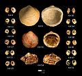 Ksar Akil Snail Shells.jpg