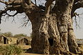Kurchi Baobab (3137083783).jpg