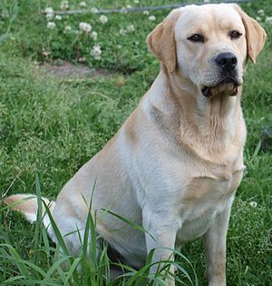 Gun dog - A yellow male adult Labrador Retriever