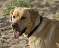 Labrador on beach (2613862700).jpg