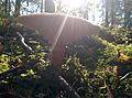 Lactarius torminosus fungus with sunlight rays.jpg