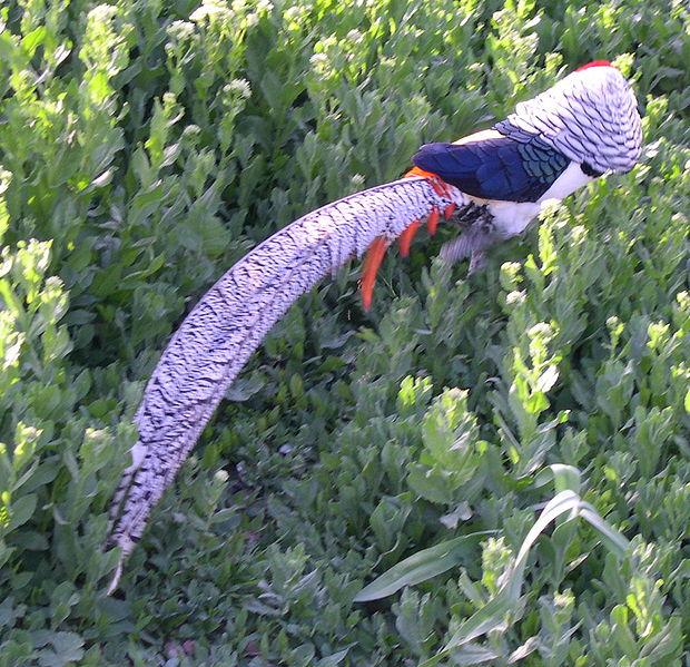 File:Lady Amherst's Pheasant2.jpg