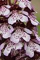 Lady Orchid - Orchis purpurea (13972024148).jpg