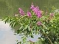 Lagerstroemia speciosa flowers 01.jpg