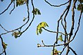 Lainzer Tiergarten März 2014 Rosskastanie 2.jpg