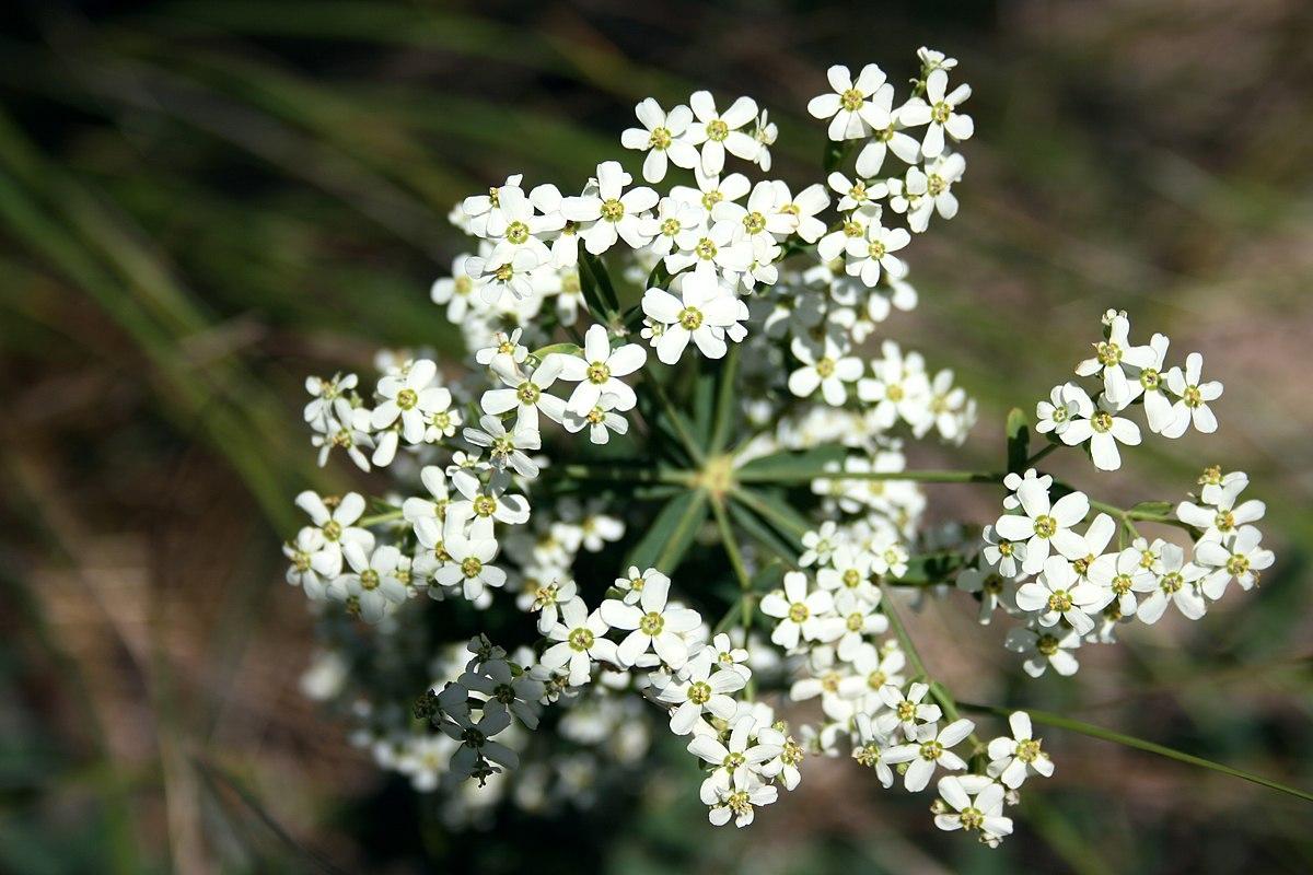 Euphorbia Corollata Wikipedia