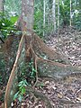 Lambir Hills National Park - tree 2.jpg