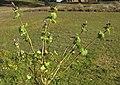 Lamium amplexicaule plant2 (14834975075).jpg