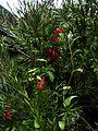 Lapageria rosea - Flickr - peganum.jpg