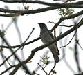 Large Cuckooshrike (Coracina macie) at Jayanti, Duars W Picture 019.jpg
