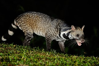 Large Indian civet species of mammal