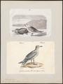 Larus argentatus - 1700-1880 - Print - Iconographia Zoologica - Special Collections University of Amsterdam - UBA01 IZ17900242.tif