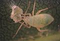 Larva of Psallus flavellus feeding on Psyllopsis fraxinicola - ZooKeys-319-169-g003.jpeg