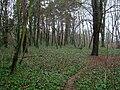 Las bluszczowy Zdroje.jpg