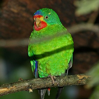 Swift parrot - Captive