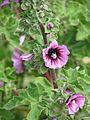 Lavatera arborea - Flickr - peganum (5).jpg