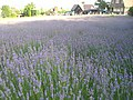 Lavender fields in the Farm Tomita 20090806.jpg