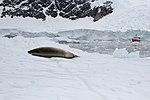 Lazy seal (24385883229).jpg