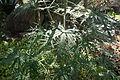 Leaves Jatropha multifida.JPG