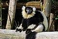 Lemur (26726510858).jpg